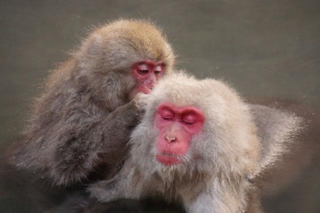 温泉で毛づくろいをする猿